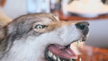 Grin jaws of stuffed wolf — Stock Video