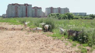 Goats graze near high buildings — Stock Video