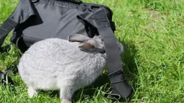 Rabbit crawls near bag on grass — Stock Video