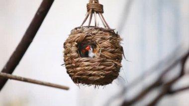 Orange cheecked Waxbill birds — Stockvideo