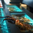 Crab on edge of aquarium at restaurant — Stock Video #65787369