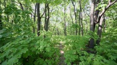 Maple leaves flutter on wind — Stock Video