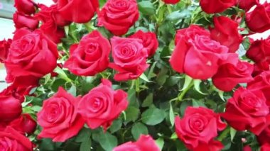Large bright bouquet of red roses — Stock video