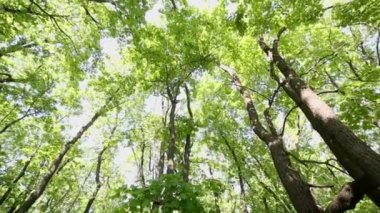 Sun lights up maple foliage — Stock Video
