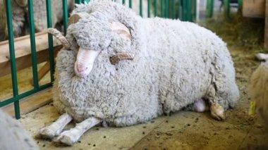 Woolly Sheep lying on floor — Stock Video