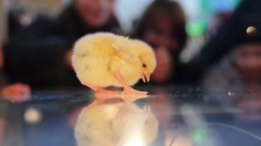 Baby chicks on glass with reflection — Stock Video