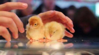 Baby chicks between humans hand — Stock Video