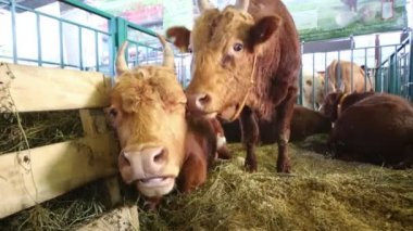 Two cows in stall with hay — Stock Video