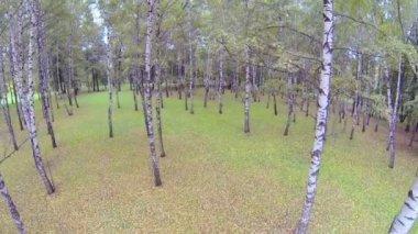 Bos van berkenbomen — Stockvideo