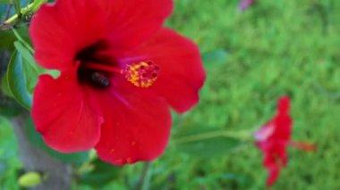 Bee sit on red flower in garden — Stock Video