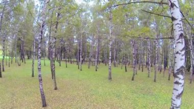 Lasu brzozowego drzewa — Wideo stockowe