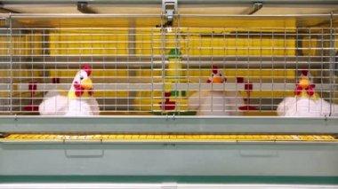 Demonstration of chicken industrial incubator — Stock Video