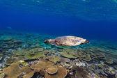 Turtle swimming underwater — Stock Photo