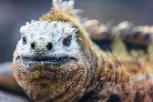 Male marine iguana — Stock Photo