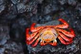 Caranguejo lightfoot sally — Foto Stock