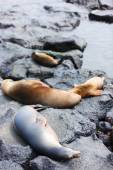 Female sea lion with babies — Stock Photo