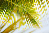 Fresh green palm tree leaves — Foto Stock
