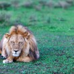 Lion — Stock Photo #56491997
