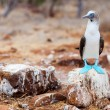 Blue footed booby — Stock Photo #56492415