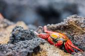 Sally lightfoot crab — Stock Photo
