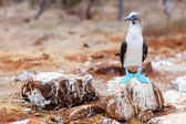 Blue footed booby — Stockfoto