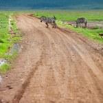 Zebra walking at road — Stock Photo #57664385