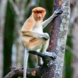 Proboscis monkey on tree — Stock Photo #57665755