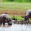 Hippos — Stock Photo #58208897
