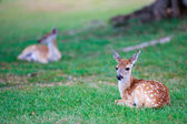 Deer fawn on grass — Stock Photo