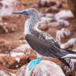 Blue footed booby — Stock Photo #61941571
