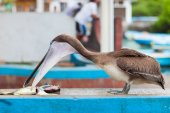 Pelican at fish market — Stock Photo