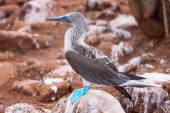 Blue footed booby — Stock Photo