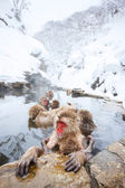 Macacos da neve — Fotografia Stock