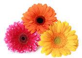 Three Gerbera flowers — Stock Photo