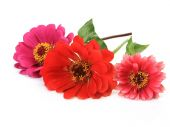 Red Gerbera flowers — Stock Photo