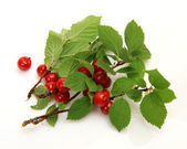 Ripe Nanking cherry — Stock Photo