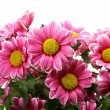 Pink chrysanthemums — Stock Photo #54161247