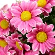 Pink chrysanthemums — Stock Photo #54161251
