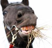 Horse chewing hay — Stock Photo