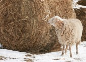Sheep and hay — Stock Photo