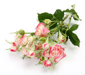 Fine pink roses — Stock Photo
