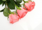 Three pink roses — Stock Photo