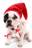 The French bulldog in a cap — Stock Photo
