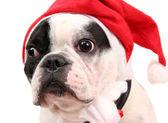 French bulldog in New Year  cap — Stock Photo
