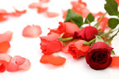 Red roses with petals — Stock Photo