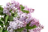 Blooming lilac flowers — Stock Photo