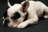 French bulldog puppy portrait — Stock Photo