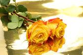 Beautiful yellow roses — Stock Photo