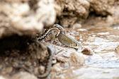 Water snake — Stock Photo