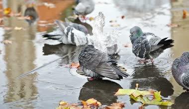 Grey doves near fountain, townhall reflection and autumn leaves — Stock Video